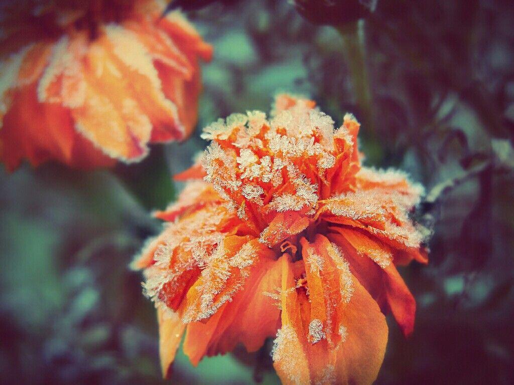 #nature  #macro  #macrophotography  #flowers  #frozen  #naturelovers  #natureshot  #naturesbeauty  #naturephotographyhdrartcolorful  #ice  #photography  #winter   #FreeToEdit