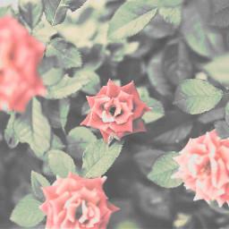 freetoedit flowers faded